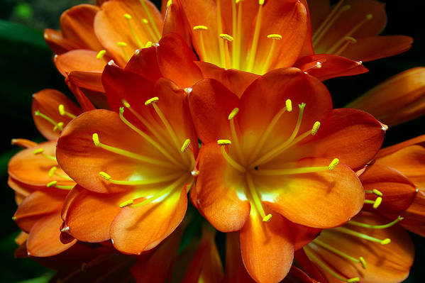 Clivia Miniata Art Print featuring the photograph Clivia Bloom by PIXELS XPOSED Ralph A Ledergerber Photography