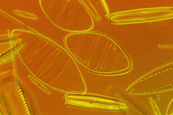 Diatoms Art Print featuring the photograph Close View Of Diatoms by Darlyne A. Murawski