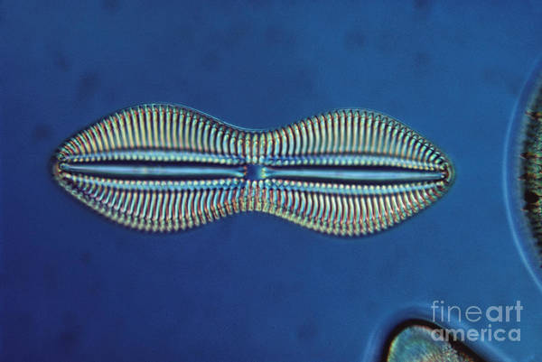 Diatom Art Print featuring the photograph Diatom - Diploneis Crabro by Eric V. Grave