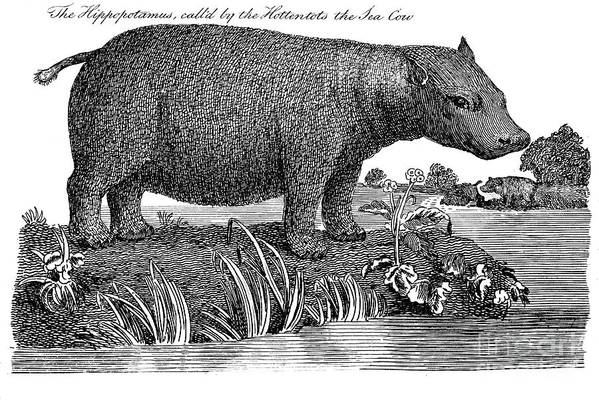 1791 Art Print featuring the photograph Hippopotamus by Granger