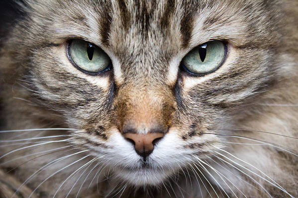 Mainecoon Art Print featuring the photograph Imminent Death by Kittysolo Photography