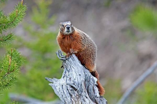 Yellowstone Art Print featuring the photograph Marmot by Elijah Weber