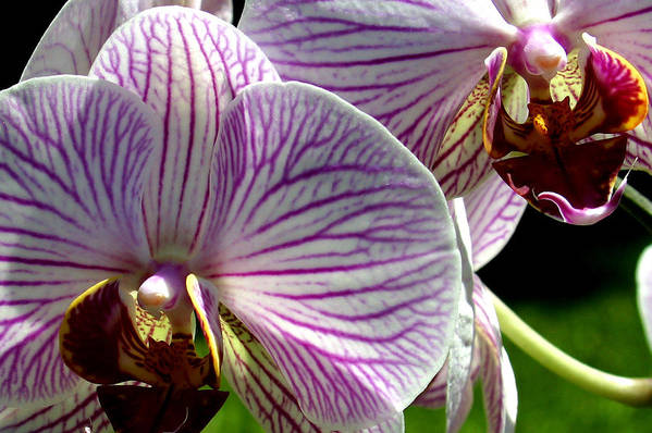Ribet Art Print featuring the photograph Orchid Flower by C Ribet