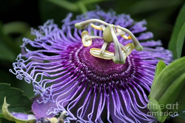 Passion Flower Art Print featuring the photograph Passion Flower by Theresa Willingham
