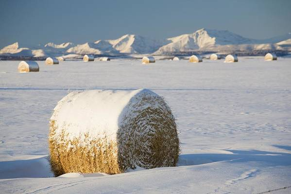 Agriculture Art Print featuring the photograph Snow-covered Hay Bales Okotoks by Michael Interisano