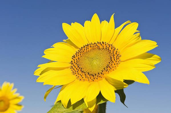 Horizontal Art Print featuring the photograph Sunflower by Franz Aberham