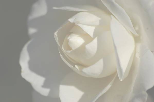 Art Print featuring the photograph White by Meeli Sonn