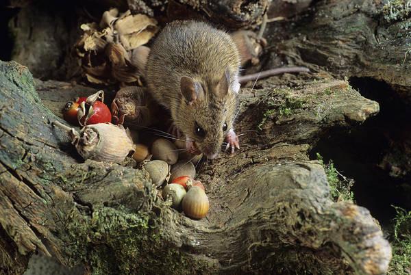 Apodemus Sylvaticus Art Print featuring the photograph Wood Mouse Feeding by David Aubrey