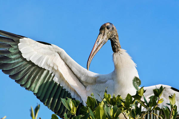 Wood Stork Art Print featuring the photograph Wood Stork by Patrick M Lynch