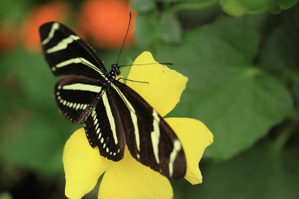 Flowers Art Print featuring the photograph Zebra Longwing by Rick Berk