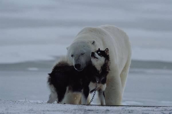 North America Art Print featuring the photograph A Polar Bear Ursus Maritimus by Norbert Rosing