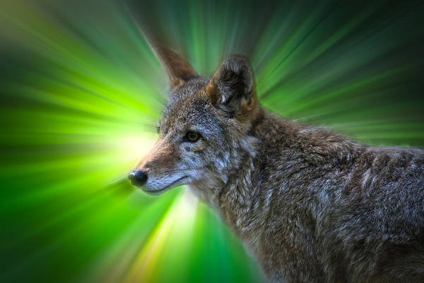 Coyote Art Print featuring the photograph Coyote by Steve McKinzie