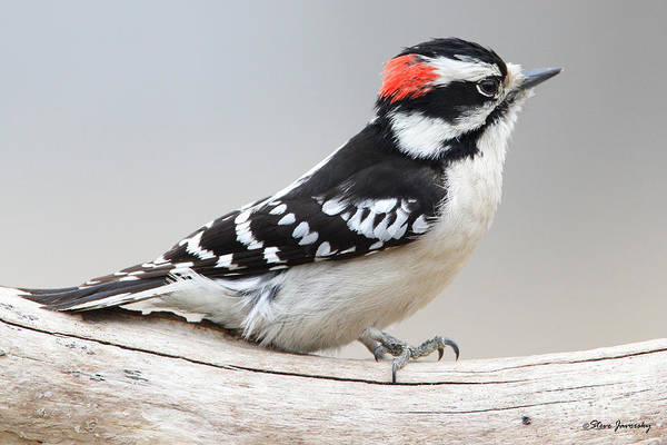 Downy Woodpecker Art Print featuring the photograph Downy Woodpecker by Steve Javorsky