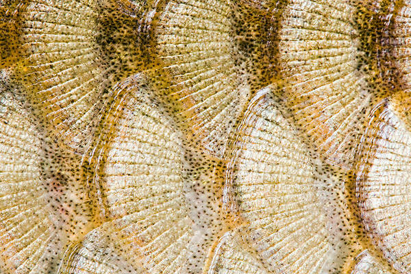 Abstract Art Print featuring the digital art Fish Scales Background by Odon Czintos