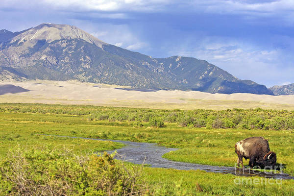 Bison Art Print featuring the photograph Great Sand Dunes Bison by Scotts Scapes