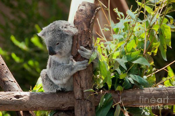 Animals Art Print featuring the digital art Koala by Carol Ailles