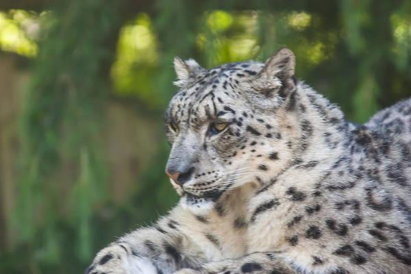 Dawn Oconnor Dawnoconnorphotos@gmail.com Art Print featuring the photograph Snow Leopard by Dawn OConnor