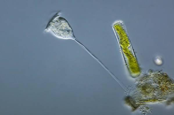 Vorticella Sp Art Print featuring the photograph Vorticella Protozoa, Light Micrograph by Frank Fox