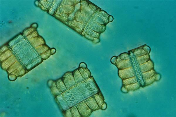 Diatoms Art Print featuring the photograph Close View Of Diatoms by Darlyne A. Murawski