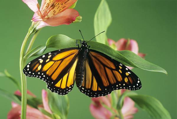 Danaus Plexippus Art Print featuring the photograph Monarch Butterfly by David Aubrey