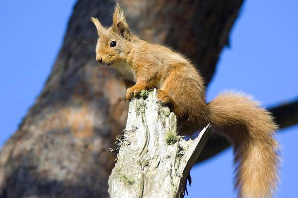 Sciurus Vulgaris Art Print featuring the photograph Red Squirrel by Duncan Shaw