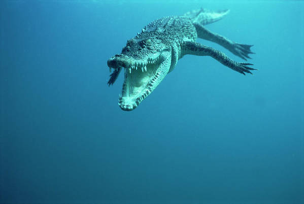 Mp Art Print featuring the photograph Saltwater Crocodile Crocodylus Porosus by Mike Parry