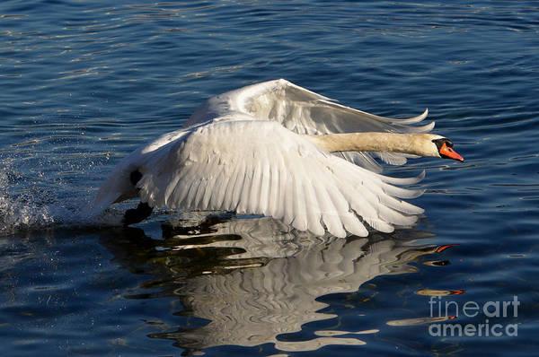 Swan Art Print featuring the photograph Swan by Mats Silvan