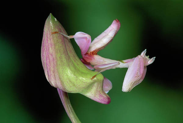 Mp Art Print featuring the photograph Orchid Mantis Hymenopus Coronatus by Thomas Marent