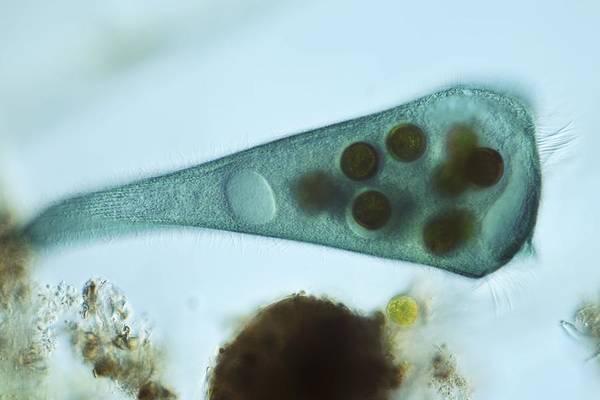 Alga Print featuring the photograph Stentor Coeruleus Protozoan, Micrograph by Frank Fox