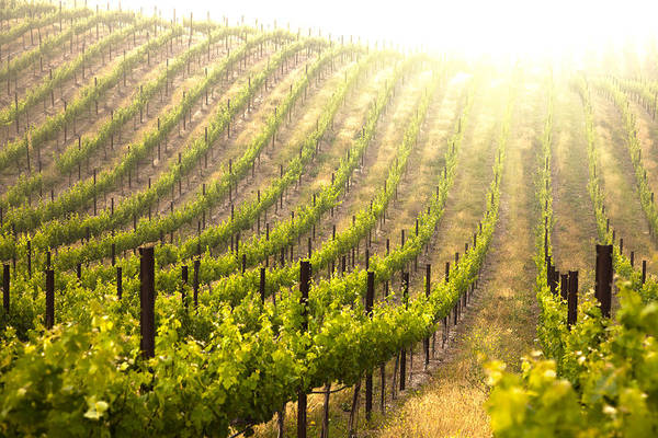 Abstract Art Print featuring the photograph Beautiful Lush Grape Vineyard by Andy Dean
