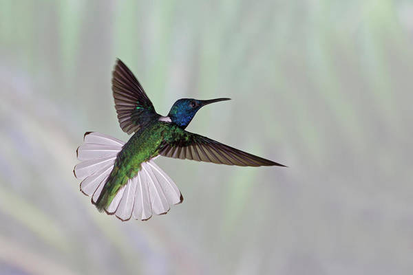 Horizontal Art Print featuring the photograph Hummingbird by David Tipling