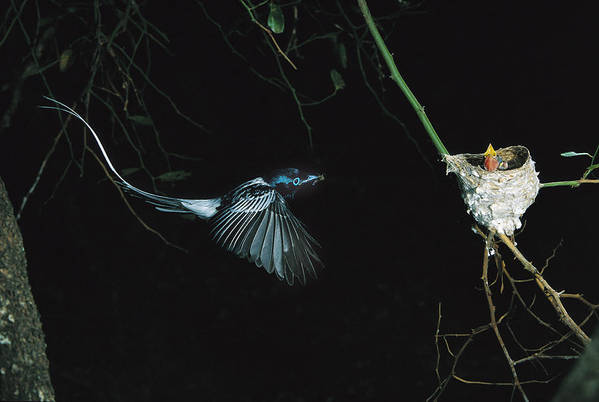 Mp Art Print featuring the photograph Madagascar Paradise Flycatcher by Cyril Ruoso