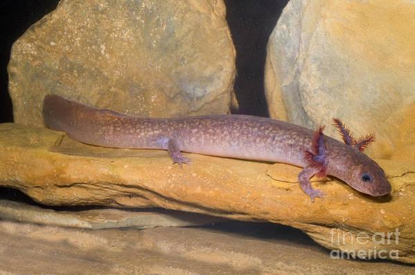 Gyrinophilus Porphyriticus Art Print featuring the photograph Spring Salamander by Dante Fenolio