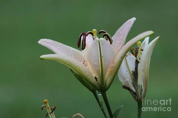Nature Art Print featuring the photograph Lily Flowers by Jack R Brock