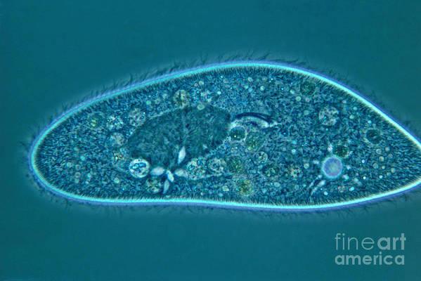 Paramecium Art Print featuring the photograph Paramecium Caudatum by M. I. Walker
