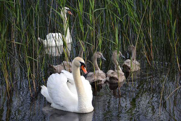 Swans Art Print featuring the photograph A Bevy Of Swans. by Terence Davis