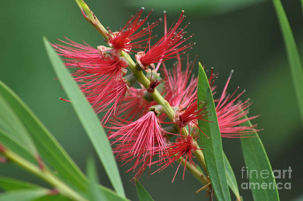 Bottle Brush Art Print featuring the photograph A Brush With Beauty by Joanne Kocwin