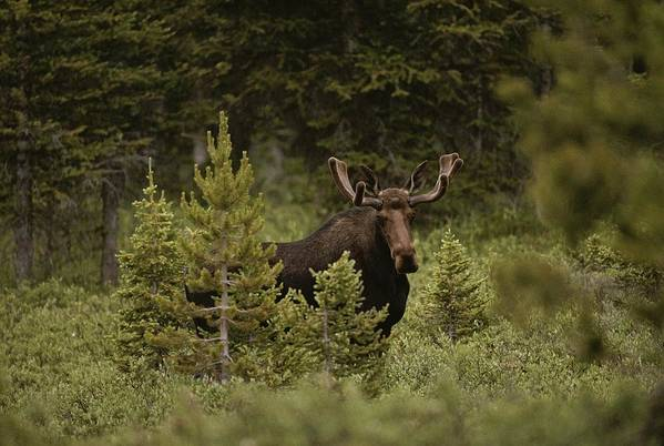 North America Art Print featuring the photograph A Bull Moose Stops For A Photograph by Raymond Gehman
