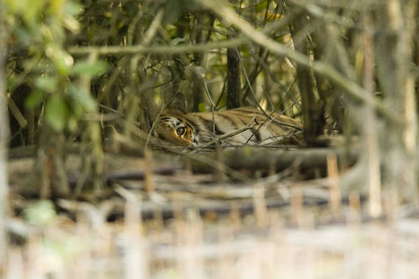 Day Art Print featuring the photograph A Female Tiger Rests In The Undergrowth by Tim Laman