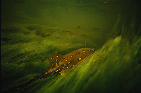 Underwater Art Print featuring the photograph A Freshwater Stingray Swims In A Meadow by Joel Sartore