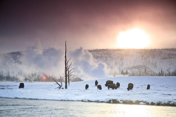 American Bison Print featuring the photograph A Group Of Bison Feeding In The Snow by Drew Rush