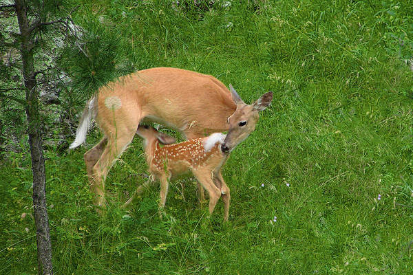 Doe Art Print featuring the photograph A Mother's Love - Doe And Fawn by Christine Till