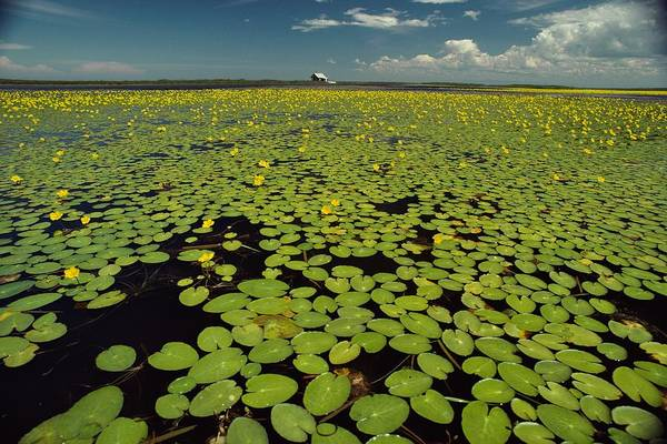 Day Art Print featuring the photograph A River Delta Filled With Lily Pads by Bill Curtsinger