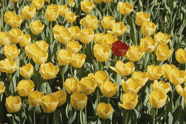 Plants Art Print featuring the photograph A Single Red Tulip Among Yellow Tulips by Ted Spiegel