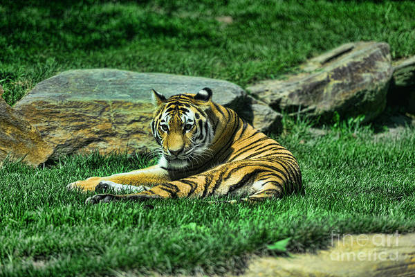 The Tiger's Gaze Art Print featuring the photograph A Tiger's Gaze by Paul Ward