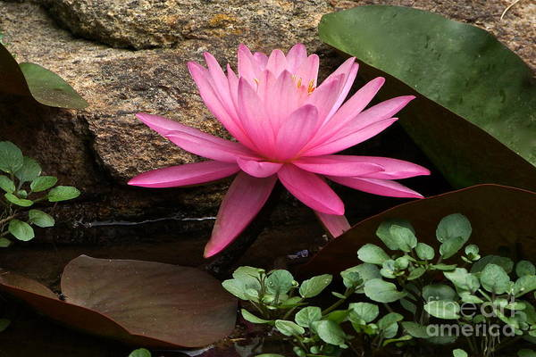 Pink Waterlily Art Print featuring the photograph A Waterlily's Grace by Byron Varvarigos