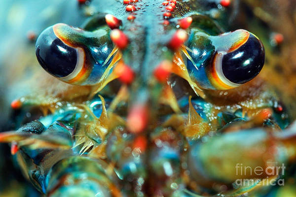 Seafood Art Print featuring the photograph American Lobsters by Matt Suess
