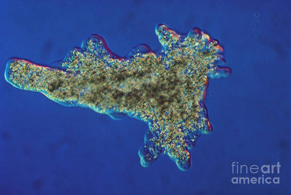 Science Art Print featuring the photograph Amoeba Proteus Lm by Eric V. Grave