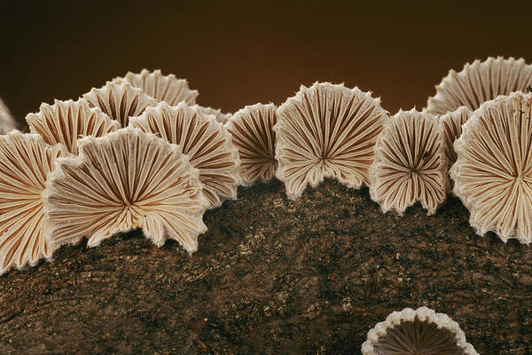 Common Split Gill Mushrooms Art Print featuring the photograph An Array Of Common Split Gill Mushrooms by Darlyne A. Murawski