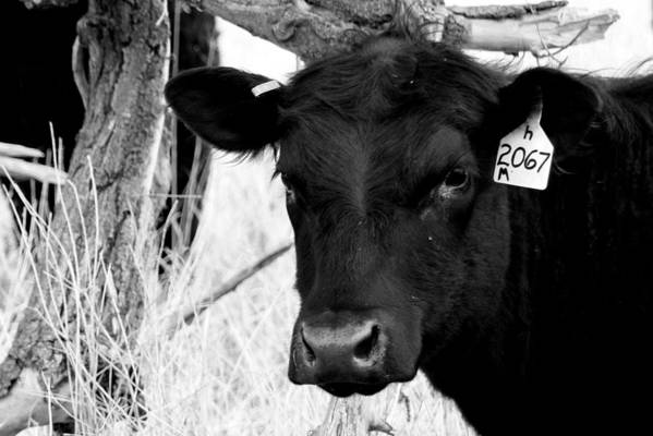 Cattle Photographs Print featuring the photograph Angus Cow In Black And White by Tam Graff